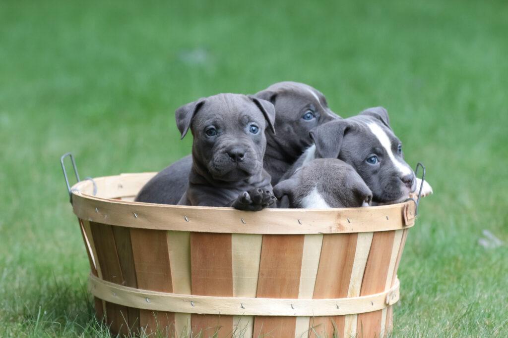 Puppies Inside A Wooden Basin