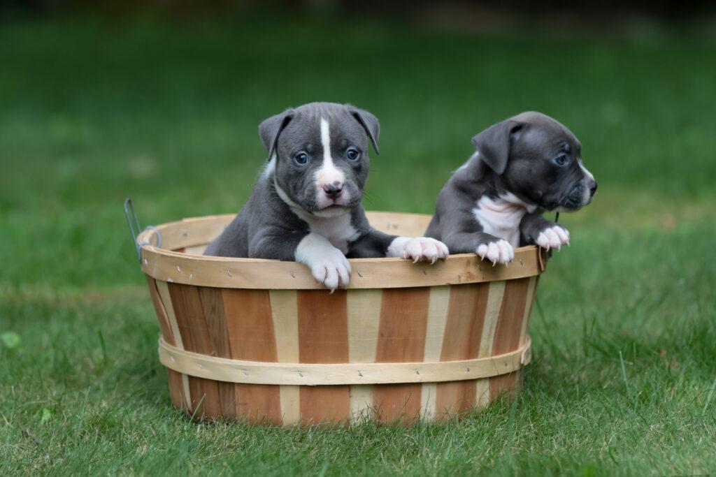 Little American Pitbulls
