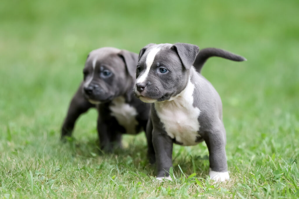 Two Pitbull Puppies