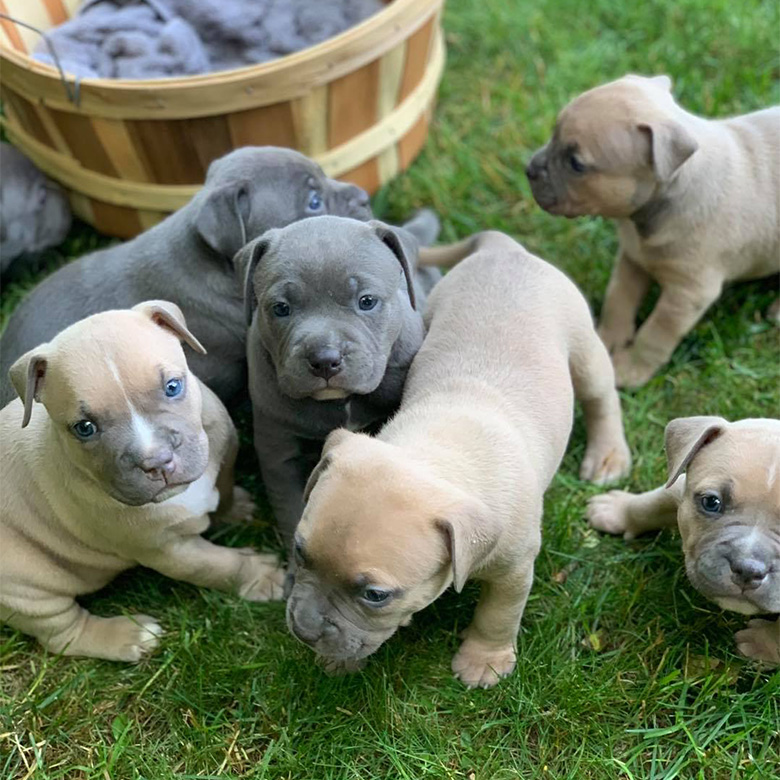 Brown and Gray American Bully Puppies